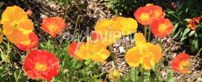 Wall mural iceland poppies