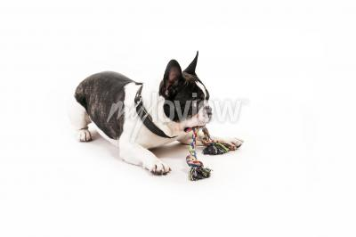 Dog with his toy on white background