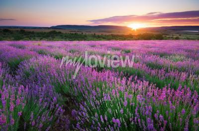 Wall mural Meadow of lavender