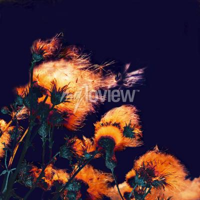 Canvas print Silhouettes of bright fuzzy dry flowers and flying seeds on dark background