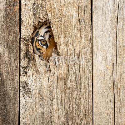 Wall mural Siberian tiger eye in wooden hole in concept of secretly dangerous